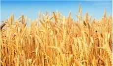 Như hạt lúa mì