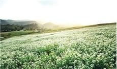 Mộc Châu đẹp dịu dàng mùa hoa cải trắng