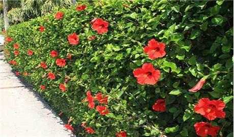 Hàng rào hoa dâm bụt