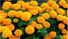 Đóa hoa vạn thọ