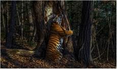 Cái ôm của hổ Amur