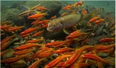 Nhiều loài cá nước ngọt bên bờ vực tuyệt chủng