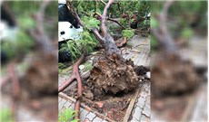 Bi kịch từ những gốc cây